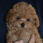 vendita-cuccioli-barboncini-roma